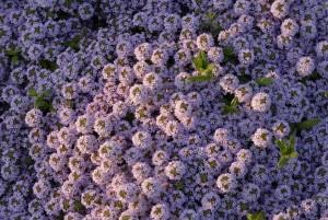 Blühende Kräuter