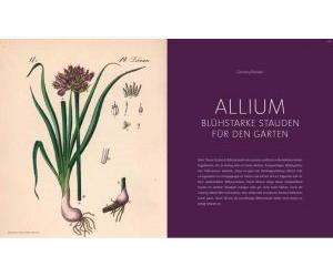 Allium                            Blühstarke Stauden für den Garten