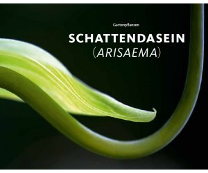 Schattendasein (Arisaema)